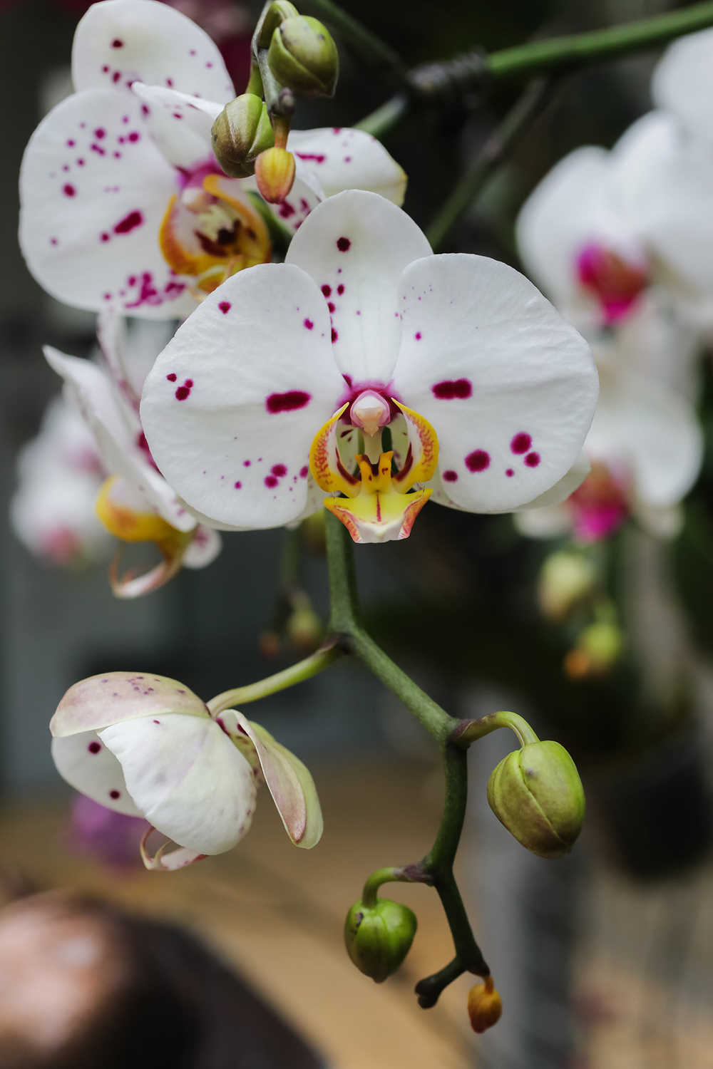 Nicholas Conservatory - Orchid