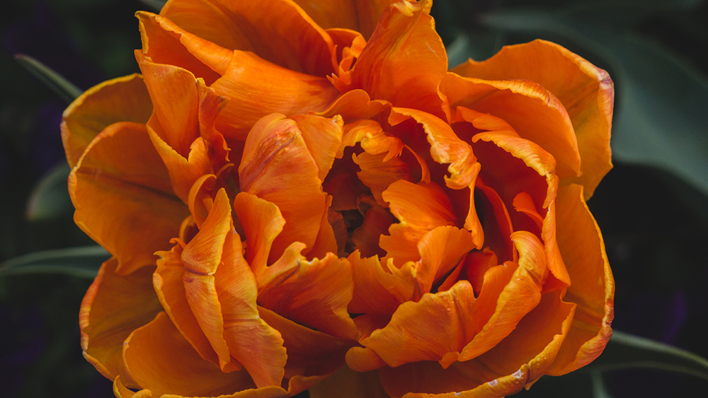 orange tulip by april bern photography