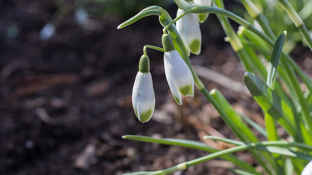 snowdrops - first sign of spring by april bern photography