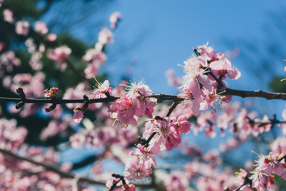 Cherry Blossoms in Bloom by april bern photography