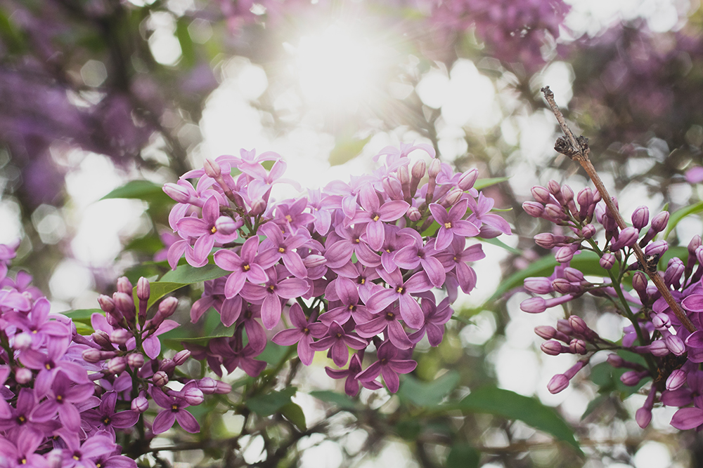 Heart shaped lilacs by april bern photography