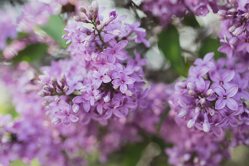gorgeous spring lilacs by april bern photography