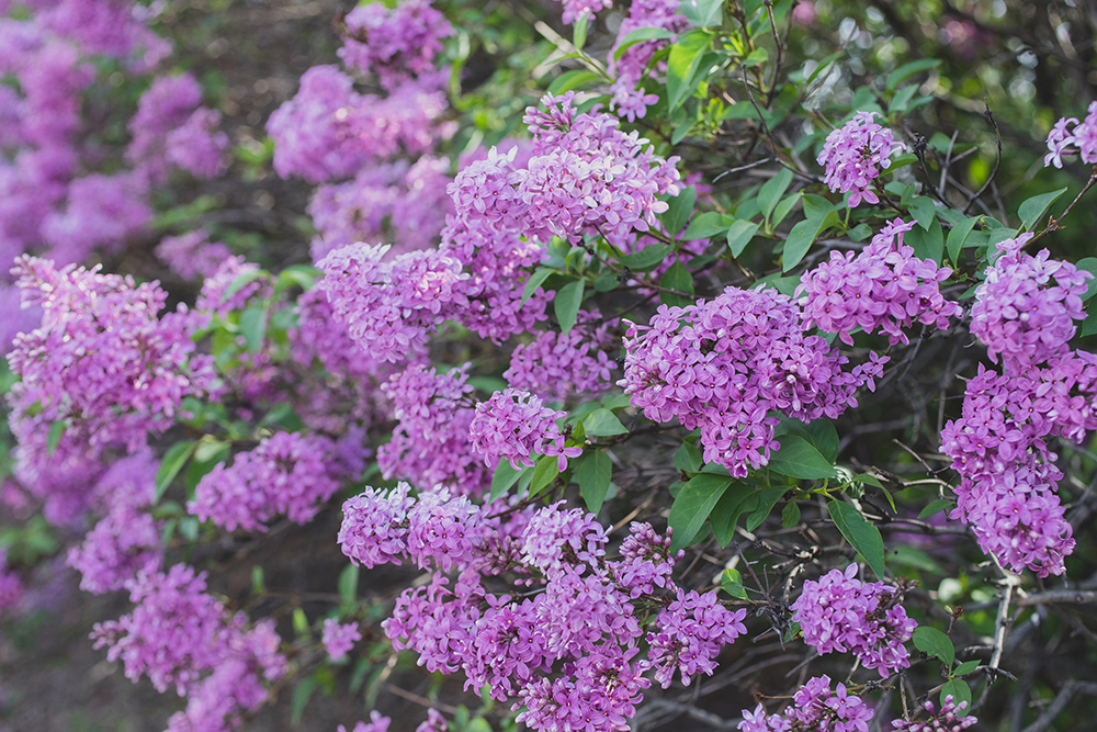 lovely spring lilacs by april bern photography