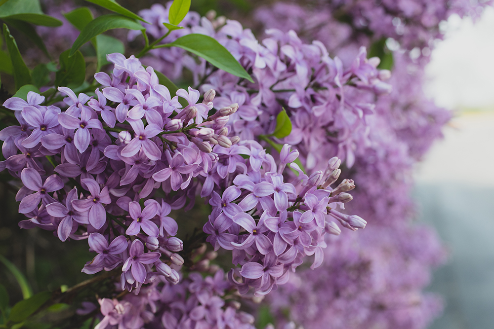 spring lilacs 03 by april bern photography