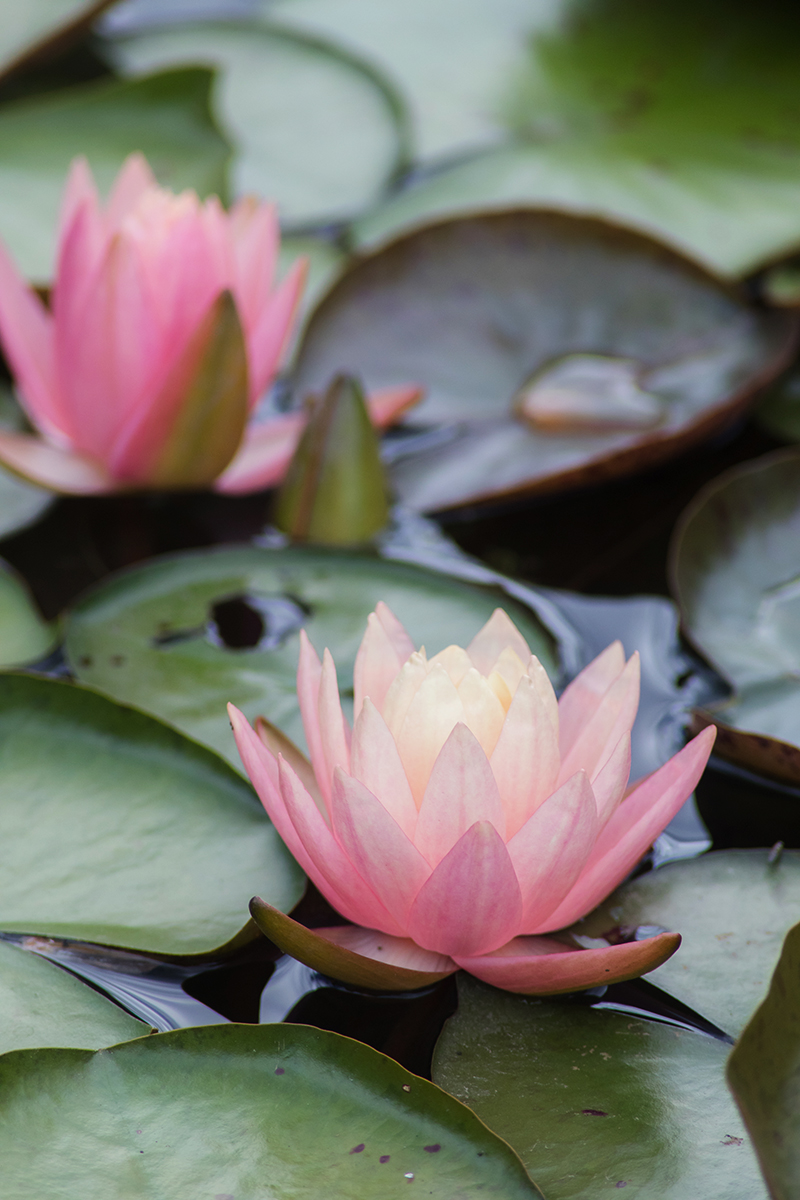 summer waterlily by april bern photography