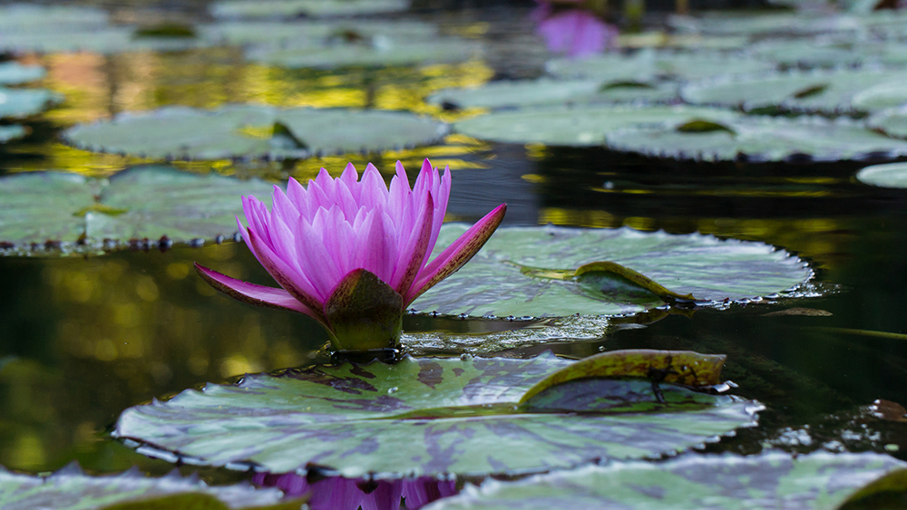 02-tranquil waterlily.jpg