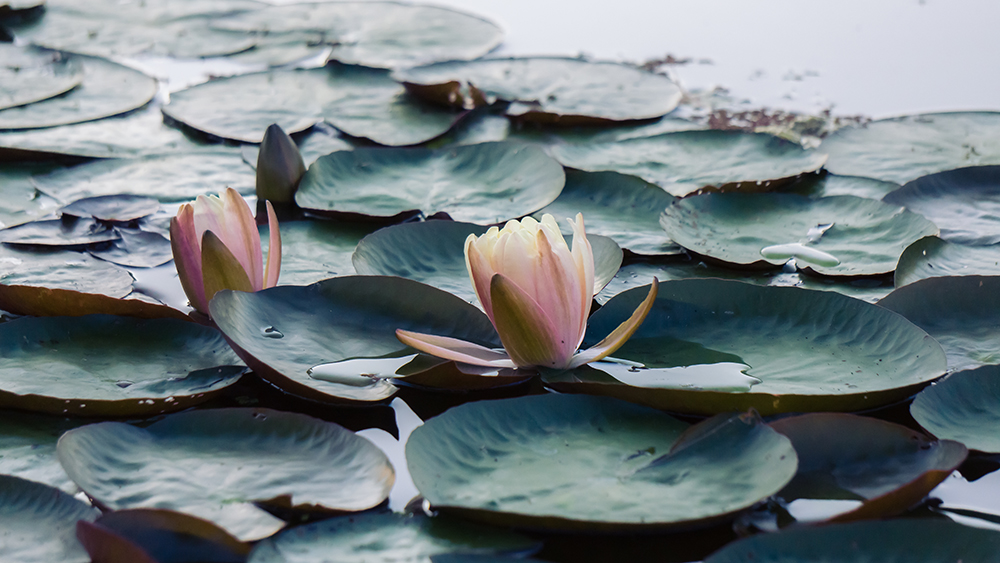 summer-waterlily.jpg