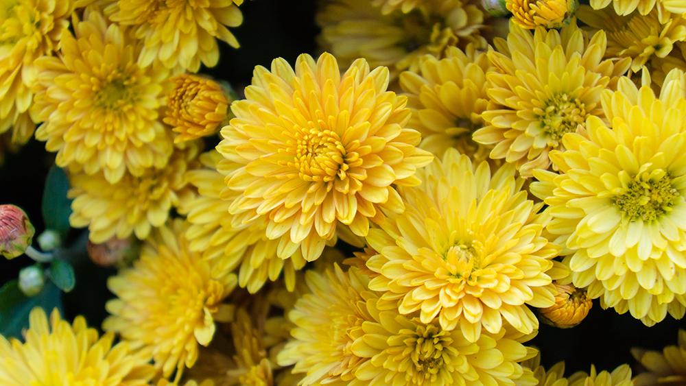 yellow-mums.jpg