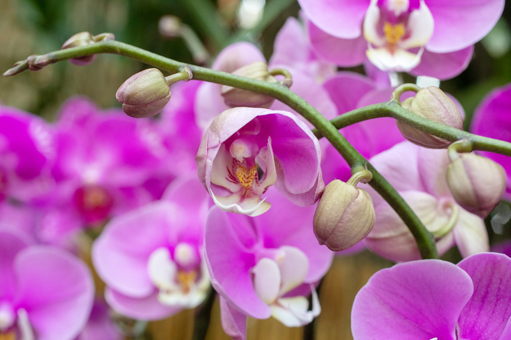 Chicago Botanic Garden 2019 Orchid Show - Pink Orchids