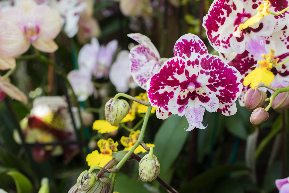 Beautiful Orchids from the Chicago Botanic Garden 2019 Orchid Show