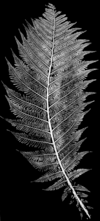 FERN Monotype  For information on ordering this fine art print derived from the original monotype used to create the FERN pattern,  contact me here .