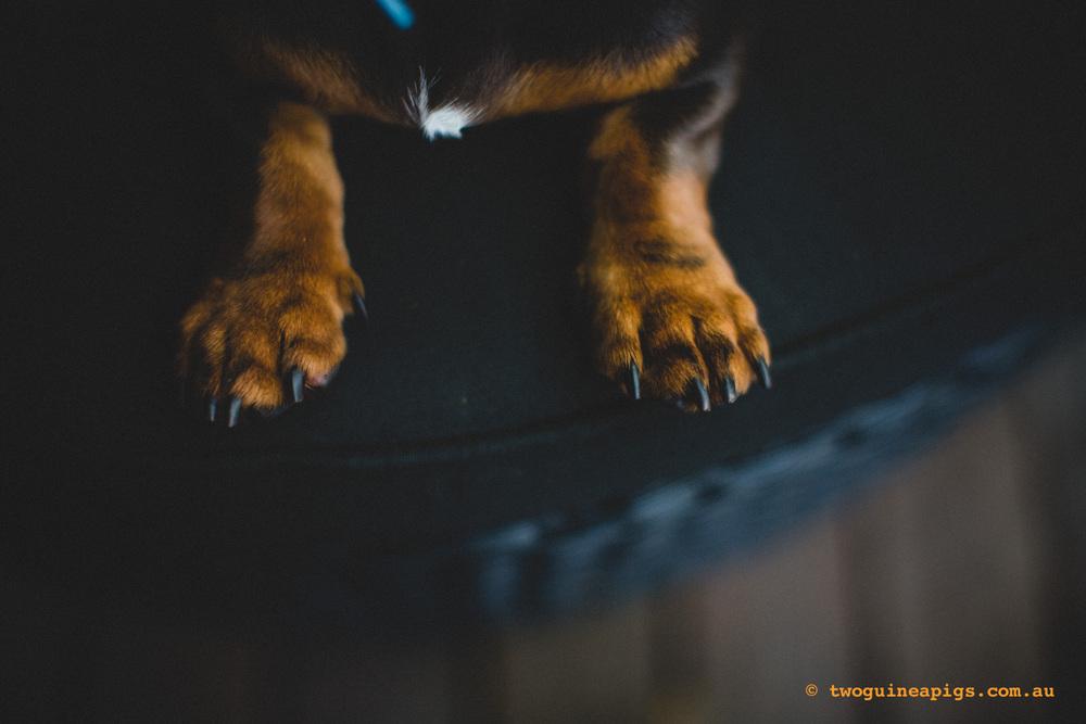 twoguineapigs_schnitzel_daschshund-11.jpg