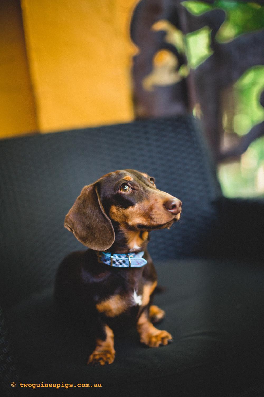 twoguineapigs_schnitzel_daschshund-9.jpg