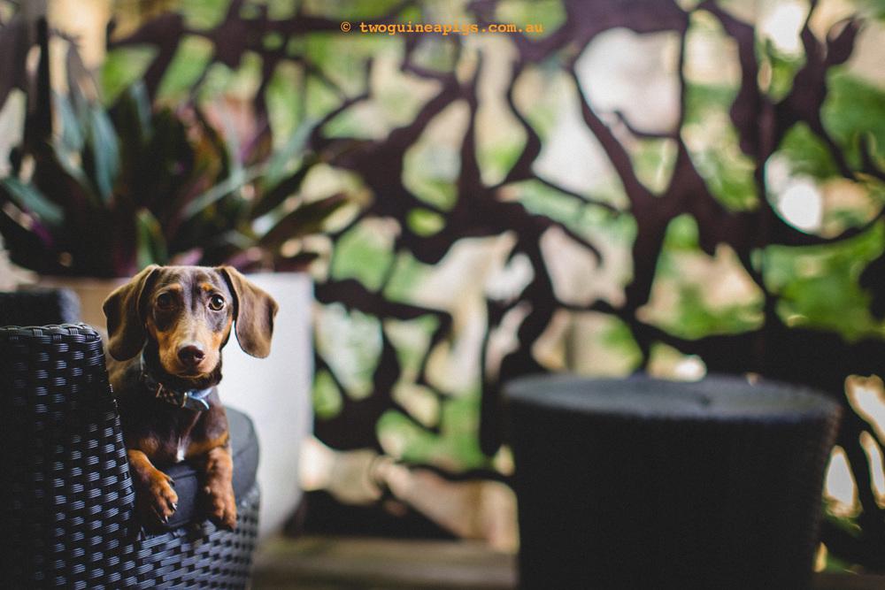 twoguineapigs_schnitzel_daschshund-12.jpg