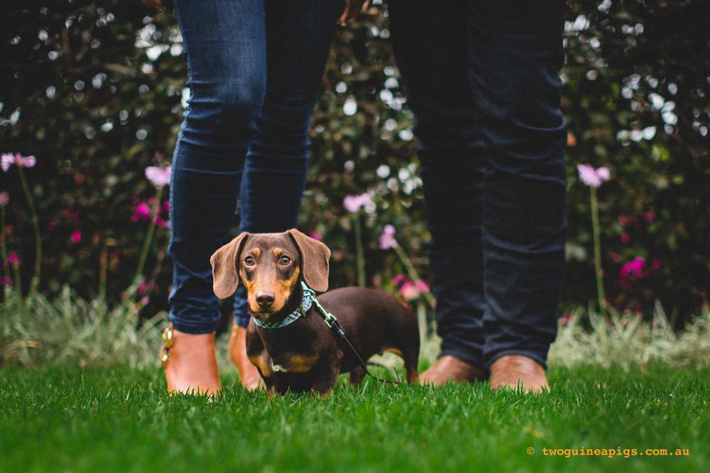 twoguineapigs_schnitzel_daschshund-20.jpg