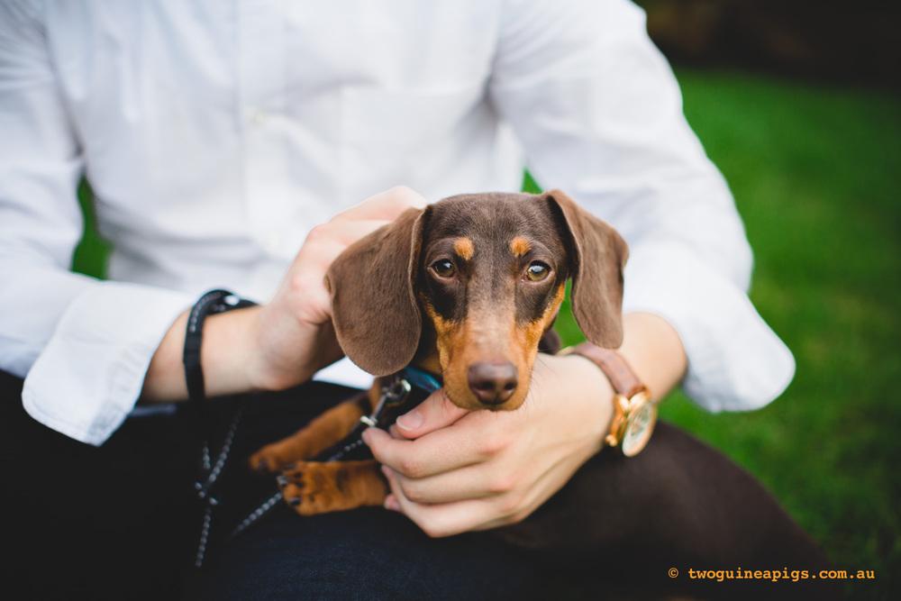 twoguineapigs_schnitzel_daschshund-21.jpg