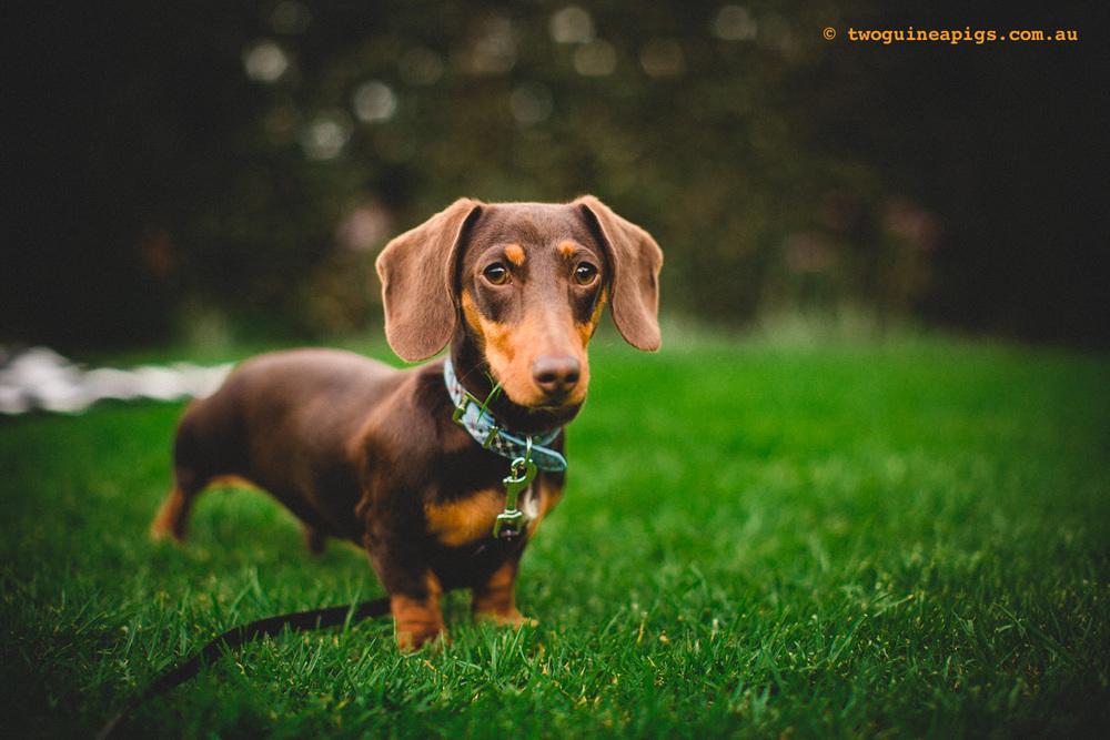 twoguineapigs_schnitzel_daschshund-24.jpg