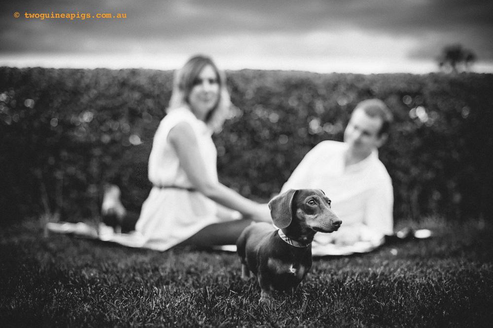 twoguineapigs_schnitzel_daschshund-25.jpg