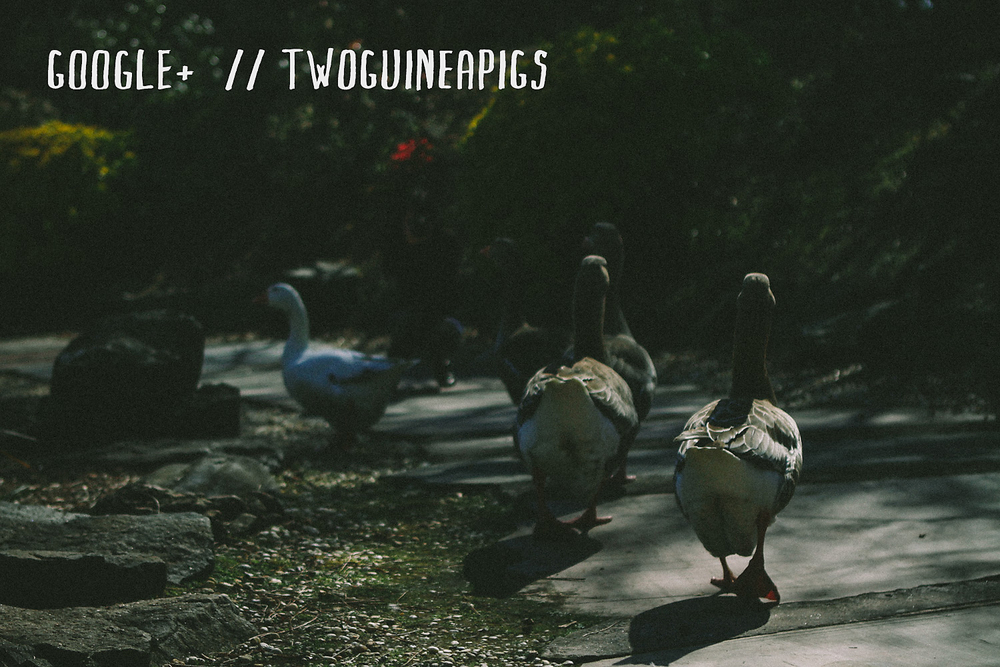 twoguineapigs_geese_squarespace-colour.jpg
