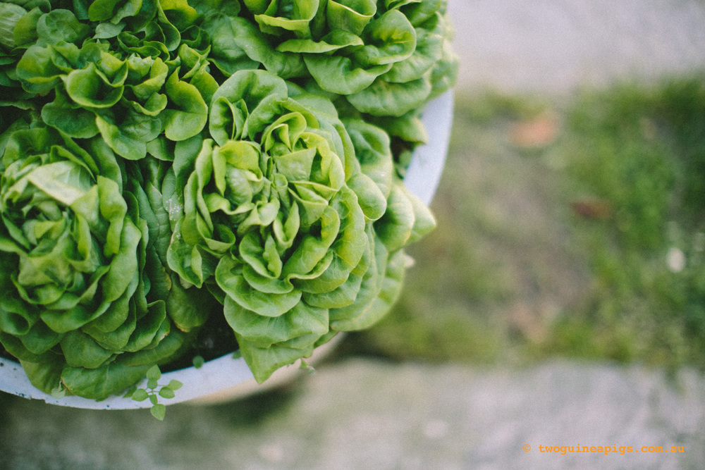 twoguineapigs_lettuce_squarespace.jpg