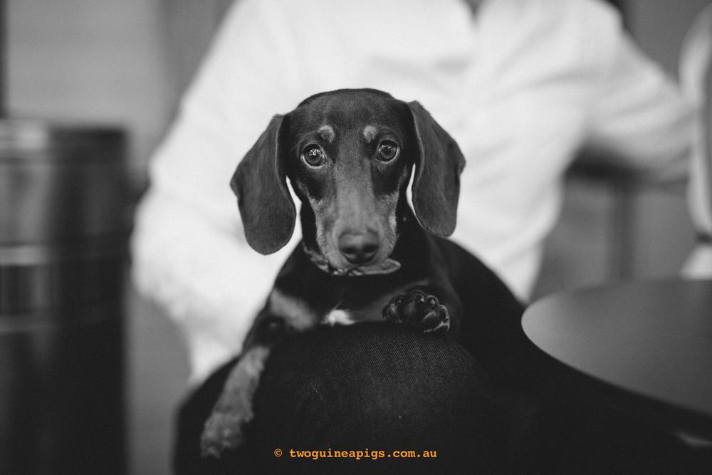 twoguineapigs_schnitzel_daschshund-2-2.jpg