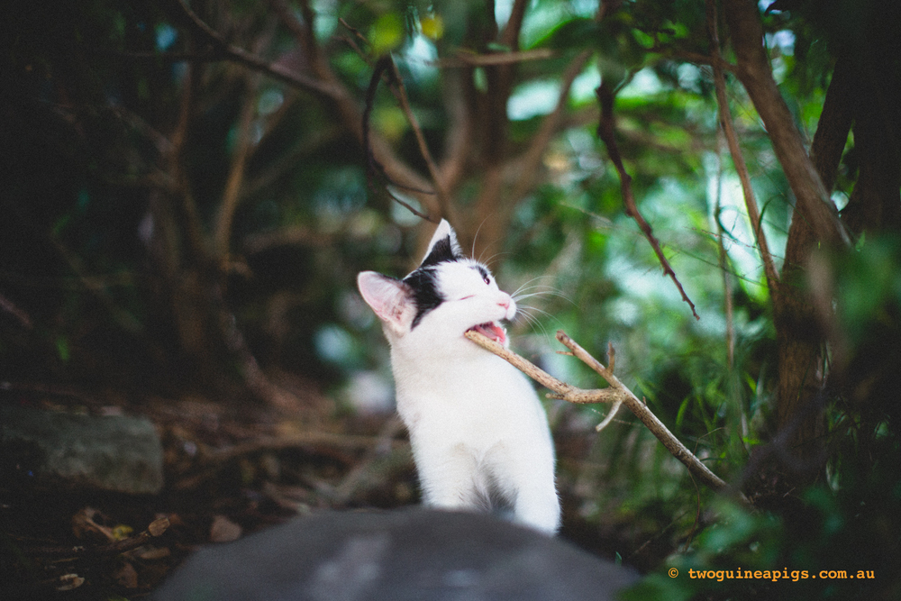 twoguineapigs_neot_cat-6.jpg