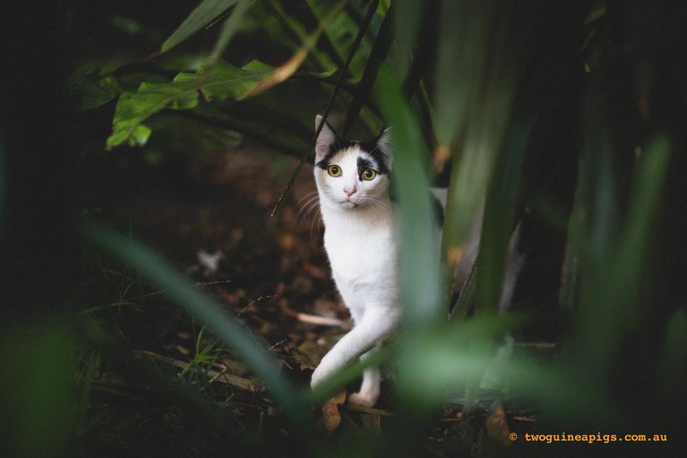 twoguineapigs_neot_cat.jpg