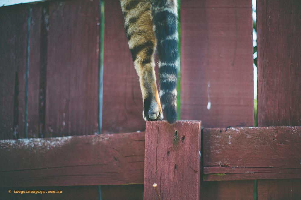 twoguineapigs_monkey_ocicat_1500-45.jpg