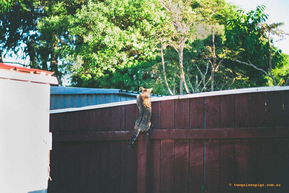 twoguineapigs_monkey_ocicat_1500-47.jpg