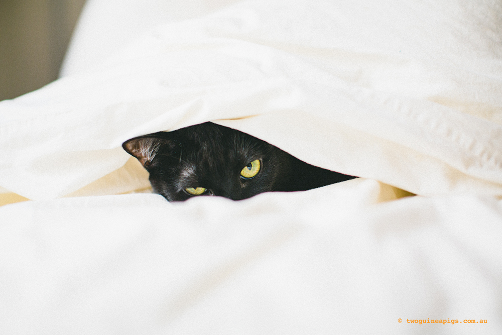 twoguineapigs_black-cats_PFinBed_1500-2.jpg