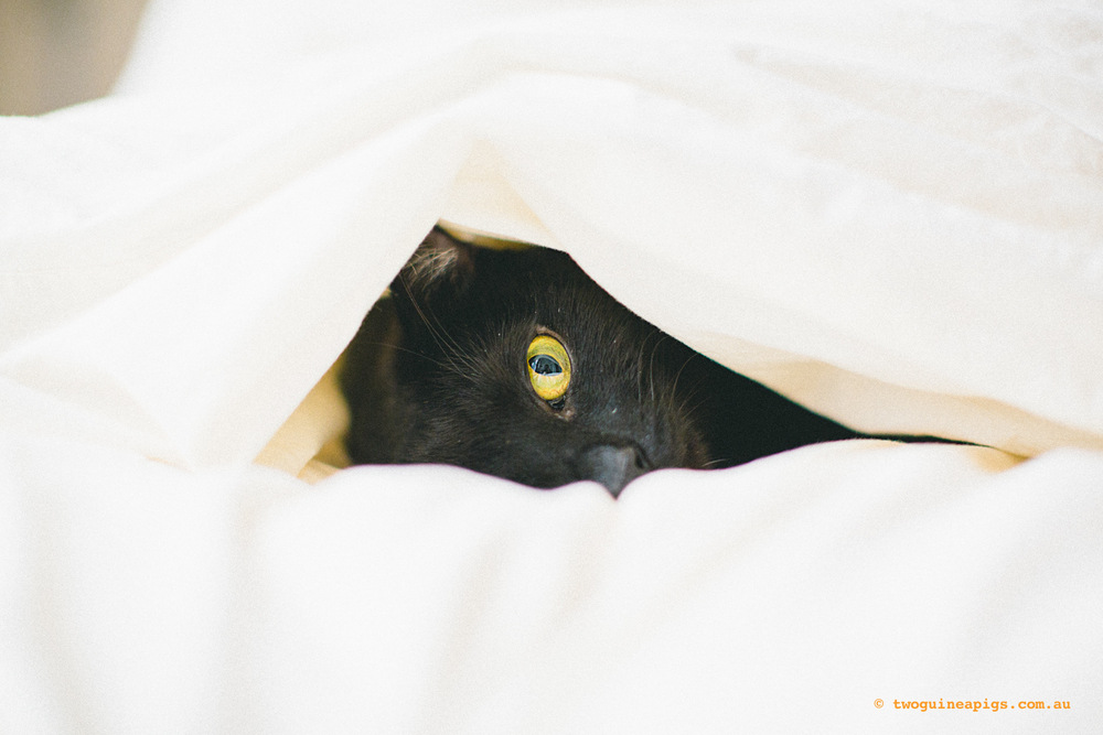 twoguineapigs_black-cats_PFinBed_1500-4.jpg