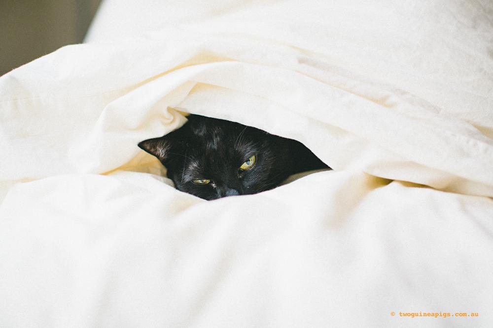 twoguineapigs_black-cats_PFinBed_1500-3.jpg
