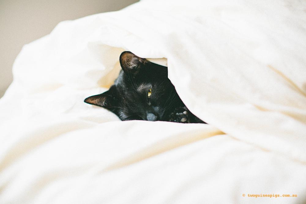 twoguineapigs_black-cats_PFinBed_1500-5.jpg