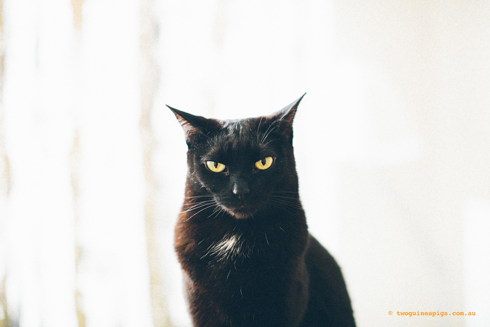 twoguinepaigs_blackcats_pf-on-books_1500-4.jpg