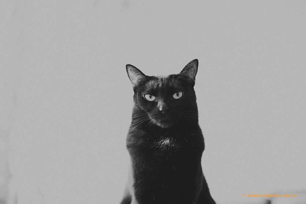 twoguinepaigs_blackcats_pf-on-books_1500-6.jpg