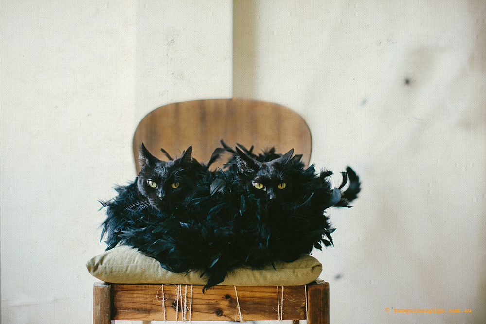 archive_twoguinepaigs_blackcats_halloween_portrait_1500-3.jpg