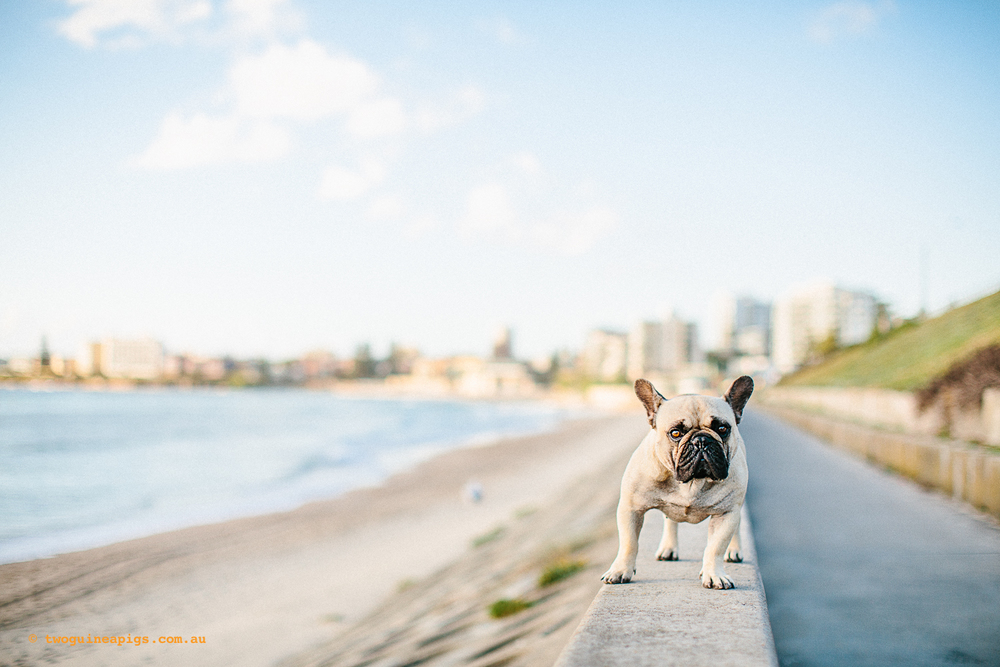 twoguineapigs_pompom_french_bulldog_cronulla_1500-12.jpg