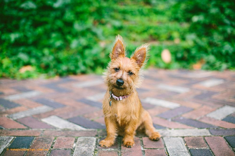 Tassie, Australian Terrier, 4 months old.