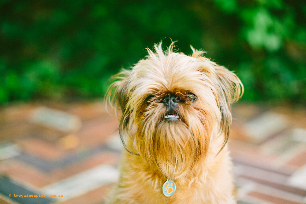 Jose the Brussels Griffon
