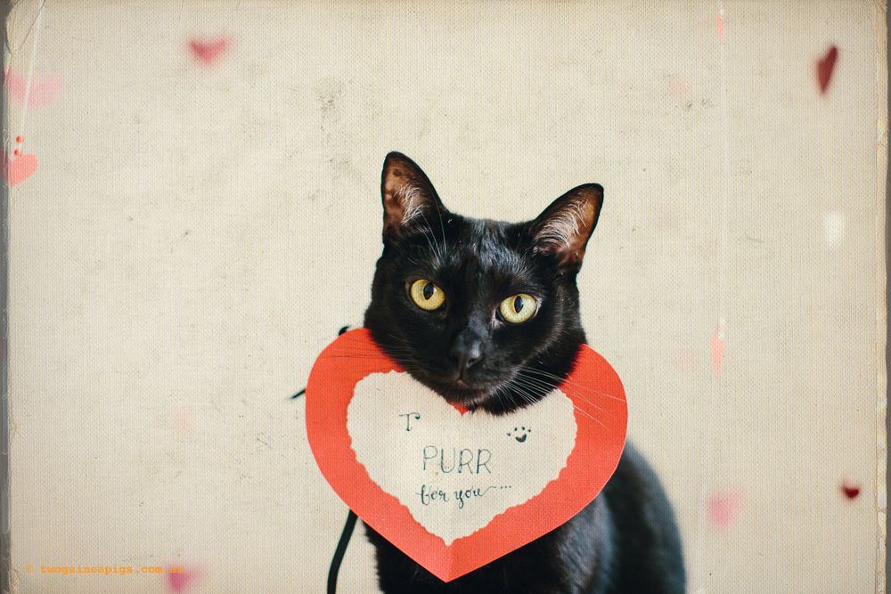 twoguineapigs_valentines_black_cat_series_pet_photography_1500-3.jpg