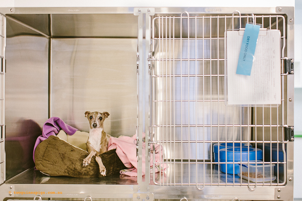 twoguineapigs_ppvh_dog_ward_pet_photography_1500.jpg