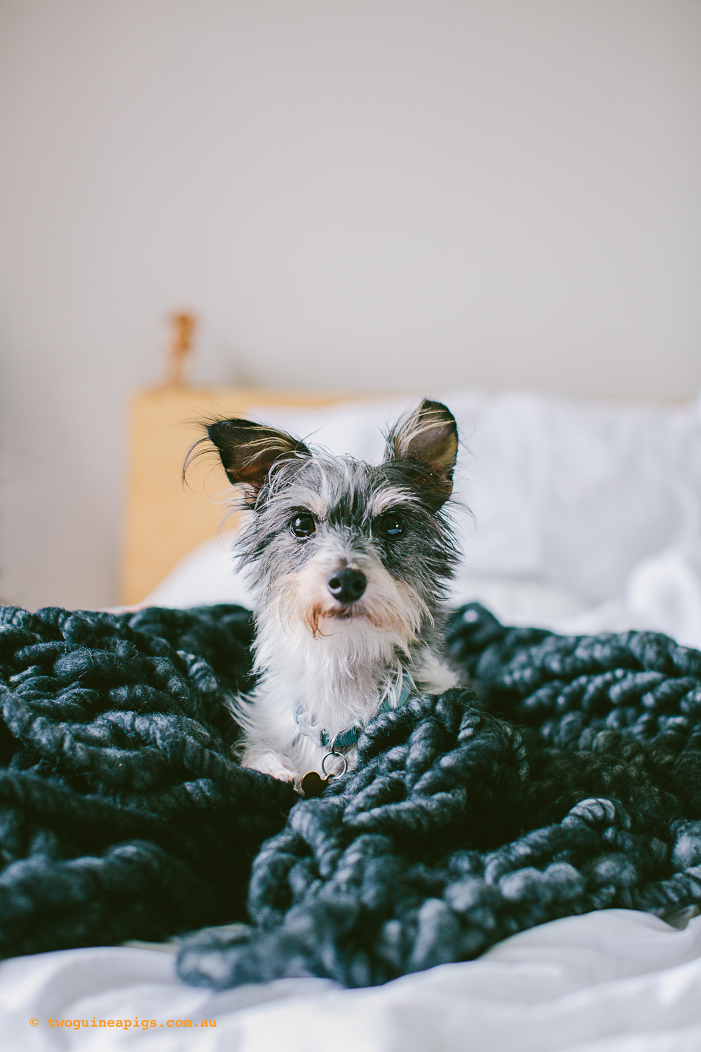 twoguineapigs_pet_photography_marikit_kitty_ash_chunky_blanket_hugo_terrior_jack_russell_1500-51.jpg