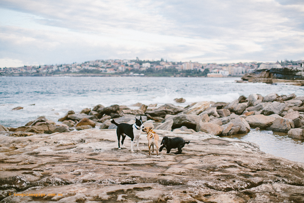 twoguineapigs_pet_photoraphy_dogs_play_sydney_coastal