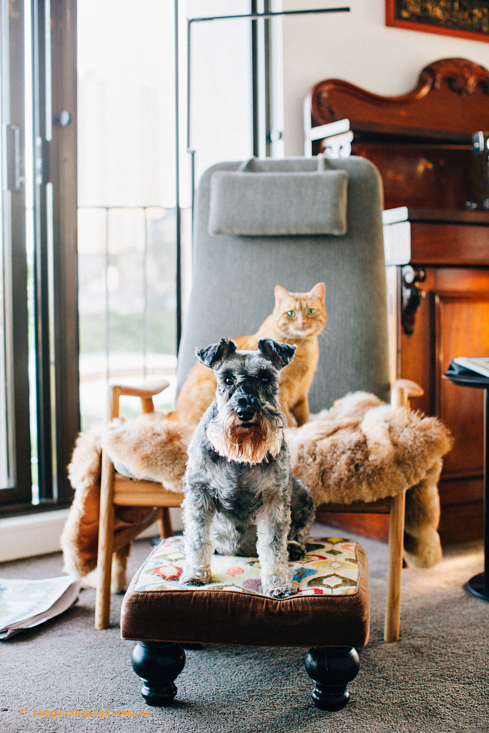 twoguineapigs_pet_photography_nellie_schnauzer_annie_ginger_cat_potts_point