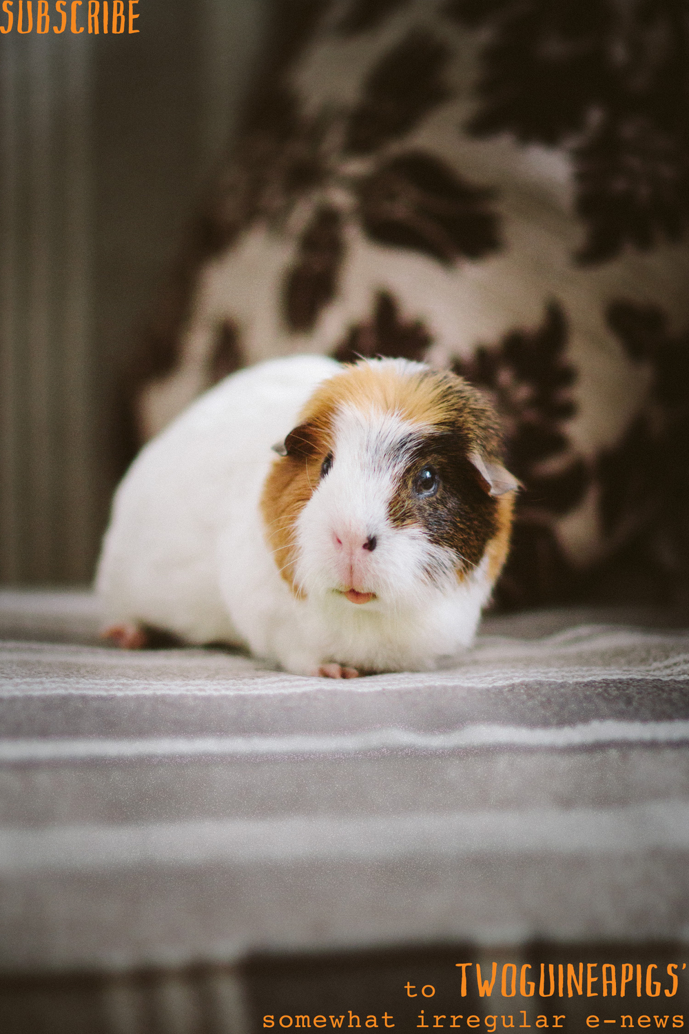twoguineapigs_subscribe_newsletter_for_free