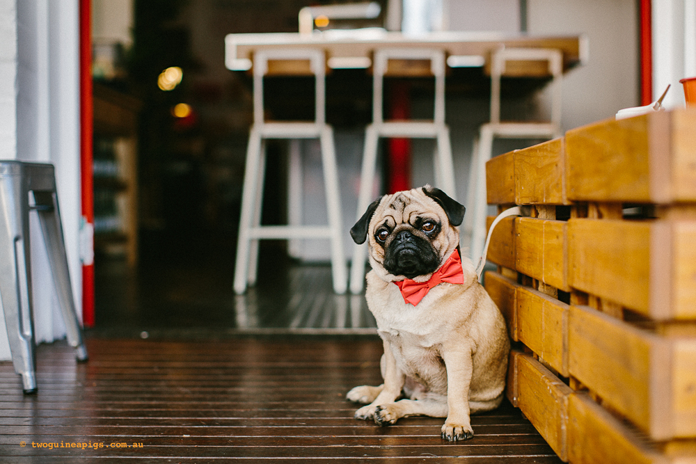 twoguineapigs_pet_photography_oh_jaffa_pug_glider_cafe_potts_point_1500-3.jpg