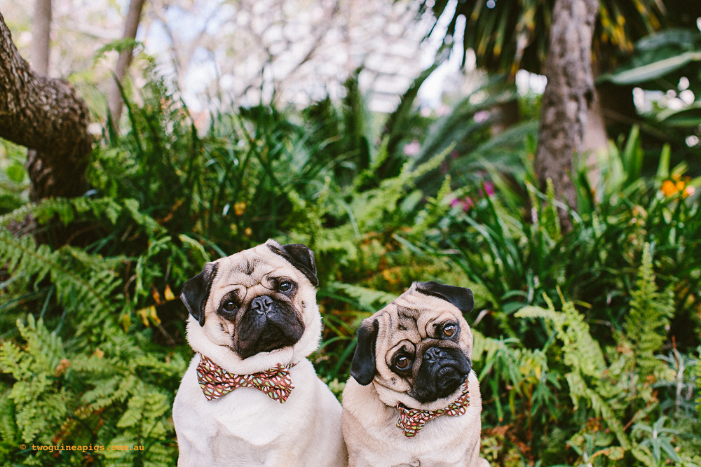twoguineapigs_pet_photography_oh_jaffa_picnic_pugs_rodger_1500-36.jpg