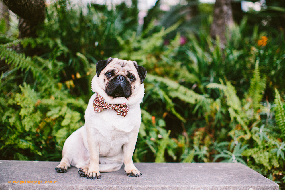 twoguineapigs_pet_photography_oh_jaffa_picnic_pugs_rodger_1500-31.jpg
