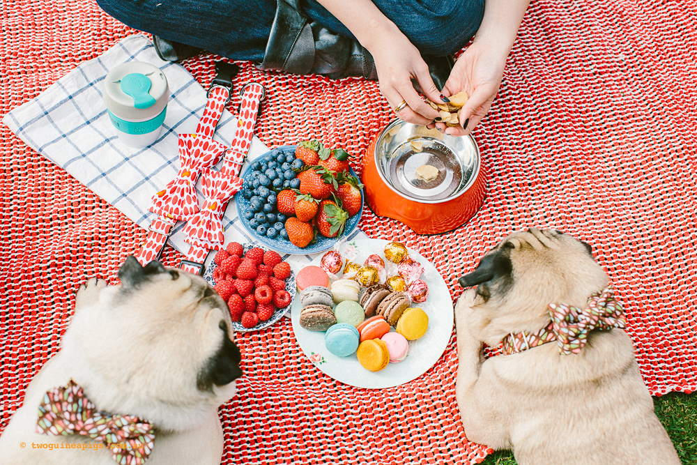 twoguineapigs_pet_photography_oh_jaffa_picnic_pugs_rodger_1500-24.jpg