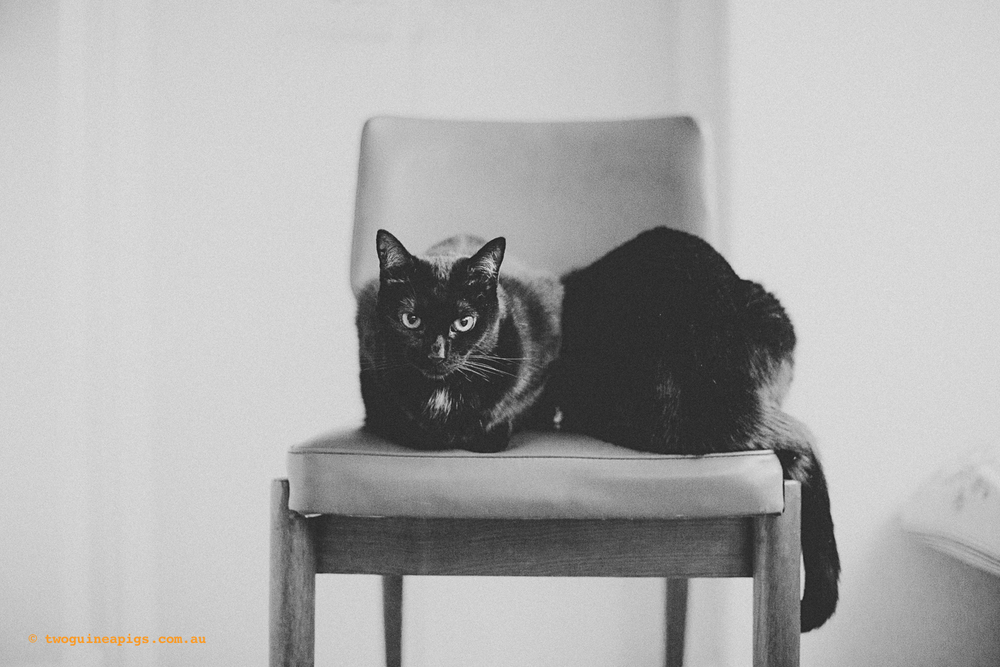 twoguineapigs_pet_photography_black_cats_retro_olive_chair_series_1500-2.jpg